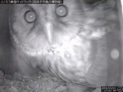 フクロウ巣箱内部カメラ